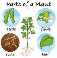 Teile einer Pflanze