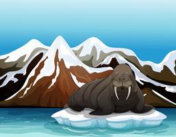 Ein Walross