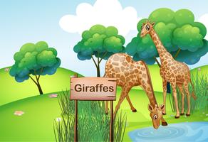 Two giraffes at the forest with a wooden sign board
