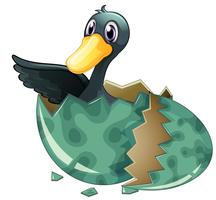 Black duck hatching egg vector