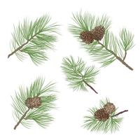 Pinecone. Pine tree branch isolated. Floral evergreen decor