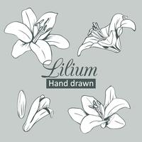 Set collection of white lilium isolated on grey background. Vector illustration