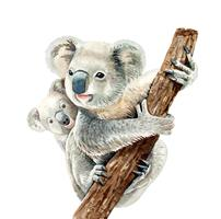 Watercolor koala and baby koala hang on branch.