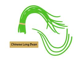 Vector die chinesische lange Bohne der Illustration, die auf weißem Hintergrund lokalisiert wird.