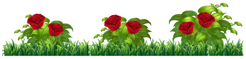 Isolated rose plant for decore