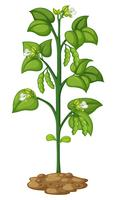 Ervilha verde na planta