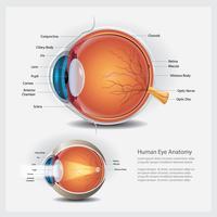 Menselijk oog anatomie en normale lens vectorillustratie