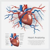Anatomía del corazón humano ilustración vectorial