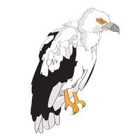 Noix de palme Vultur