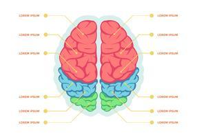 Modello di vettore di infografica emisferi cervello umano