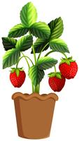 Strawberry plant in clay pot