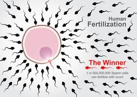 Human Fertilization  .  500,000,000 sperm cells race to fertilize with ovum but 1 in 500,000,000 sperm cells can complete fertilize.