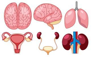 Eine Reihe von menschlichen Organen