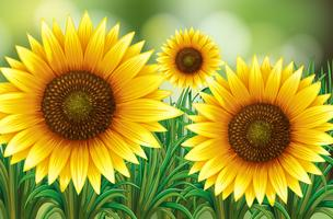 Scen med solrosor i trädgården