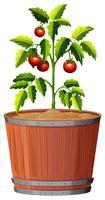Een tomatenplant in de pot