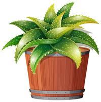 Eine Aloe Vera-Anlage im Topf