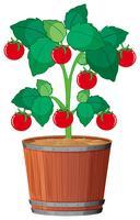 Una pianta di pomodoro nel piatto