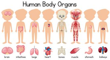A set of human body organs