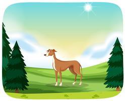 Ein Windhund in der Natur