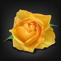 Realistic yellow rose on dark background, Vector Illustration