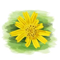 Close up yellow wild daisy with watercolor painting on vector art.