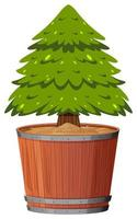 A pine tree in pot