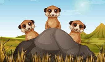 Three meerkats behind a rock in field