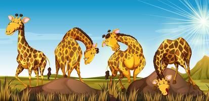 Quattro giraffe in un campo