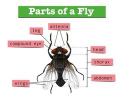 Diagram showing parts of fly