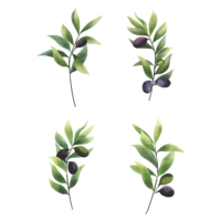 olive leaf set in watercolor style vector