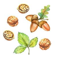 Set of watercolor autumn illustrations. Walnuts and acorns