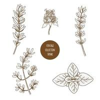 Thyme. Hand drawn set of cosmetic herbs and plants isolated on white background.