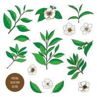 Tea Tree. Hand drawn vintage set of aromatherapy plants.