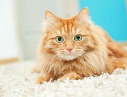 gracioso gato jengibre esponjoso acostado