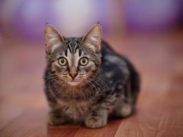 Striped domestic kitten photo