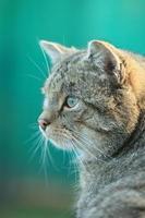 Europäische Wildkatze oder Waldkatze