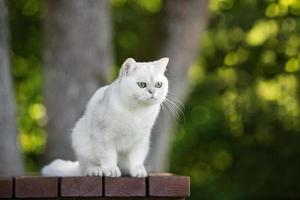 british shorthair cat outdoors photo