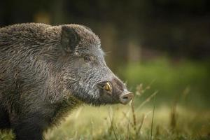 Wild boar curiously watching