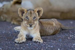 Lion cub photo