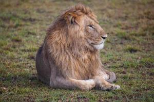 Lion lying on green grass photo