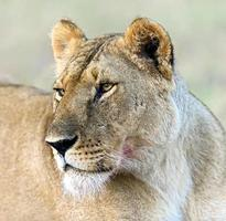 masai mara leones foto