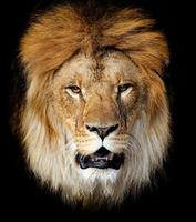 Lion portrait photo