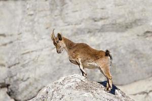 Spanish Ibex stood upright on rocks photo