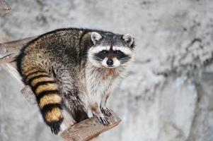 Raccoon\\Procyon lotor photo