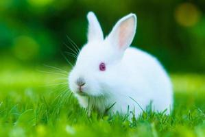 Funny baby white rabbit in grass photo
