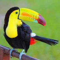 Tucán de color. Tucán con pico de quilla, de América Central.