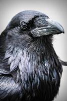 Primer plano de un cuervo común negro corvus corax foto