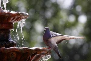 Pigeon on fountain