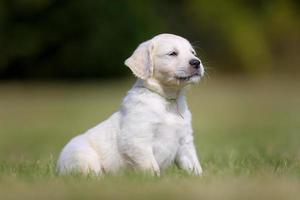 White purebred golden retriever puppy