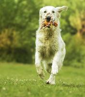 fun young beautiful golden retriever dog puppy running